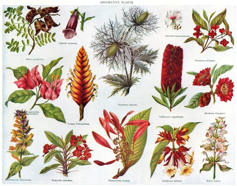 Associate Product PLANTS. Digitalis Abrus Bougainvillea Vriesea Eryngium Evonymus Rhodoleia 1907