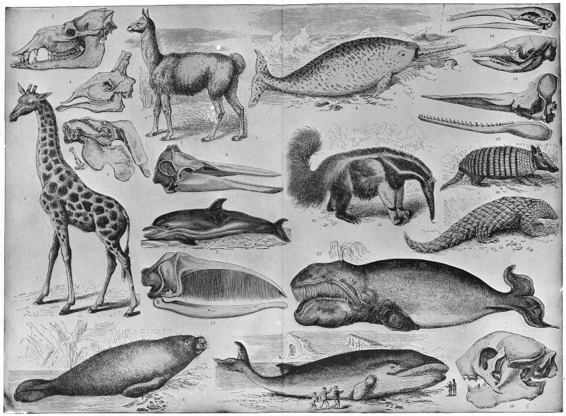 Associate Product CETACEA. Manatee Dugong Dolphin Narwhal Cachalot Right Finner whale 1907 print