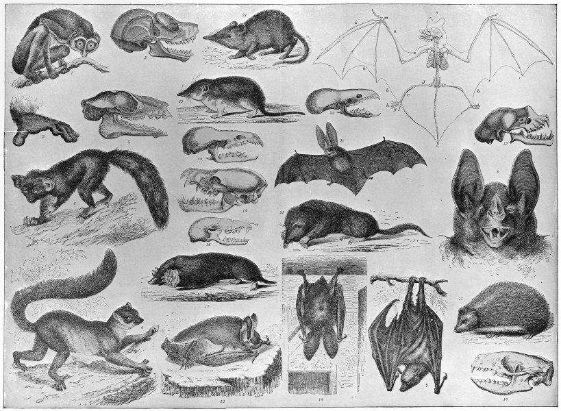 Associate Product ANIMALS. Lemur; Aye-Aye; Flying fox; Vampire bat; Hedgehog; Mole; shrew 1907