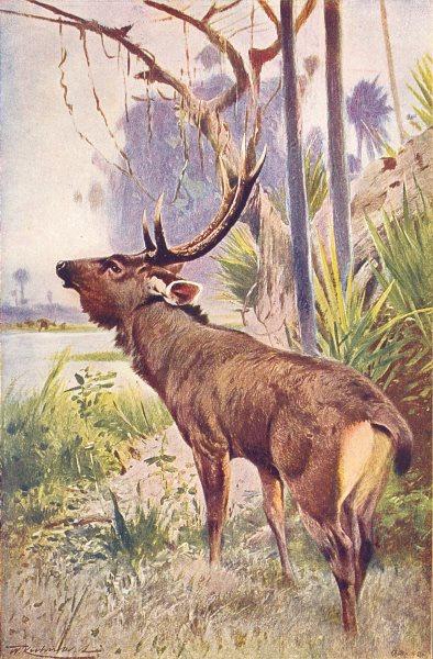 Associate Product DEER. Sambur(Cervus unicolor) 1907 old antique vintage print picture