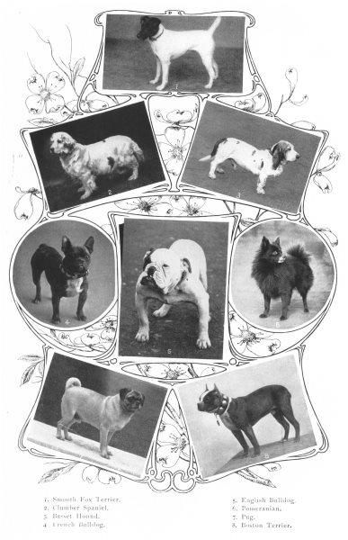 Associate Product DOGS. Smooth fox Boston Terrier Clumber Spaniel Basset Bulldog Pomeranian 1907
