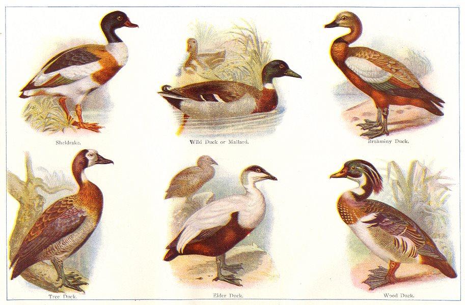 Associate Product BIRDS. Ducks; Sheldrake; Tree Duck; Mallard; Eider; Brahminy; Wood 1907 print