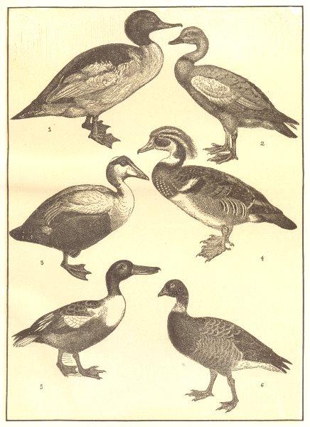 Associate Product DUCK GOOSE. Goosander; Brahminy; Elder; Wood; Shoveler; Bernicle 1907 print