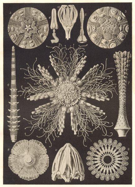 ECHINODERMS. Cidaris Tribuloides; baculosa; Dorocidaris papillata 1907 print