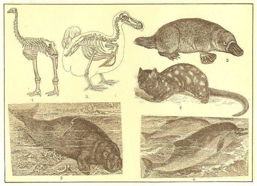Associate Product ANIMALS. Elephant-foot Dinornis Dodo Duck bill paradoxure Manatee Dolphin 1907