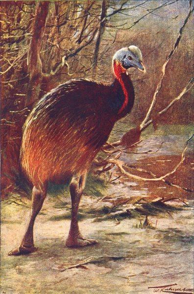 Associate Product BIRDS. Emu(Hippalectryo Uniappendiculatus) 1907 old antique print picture