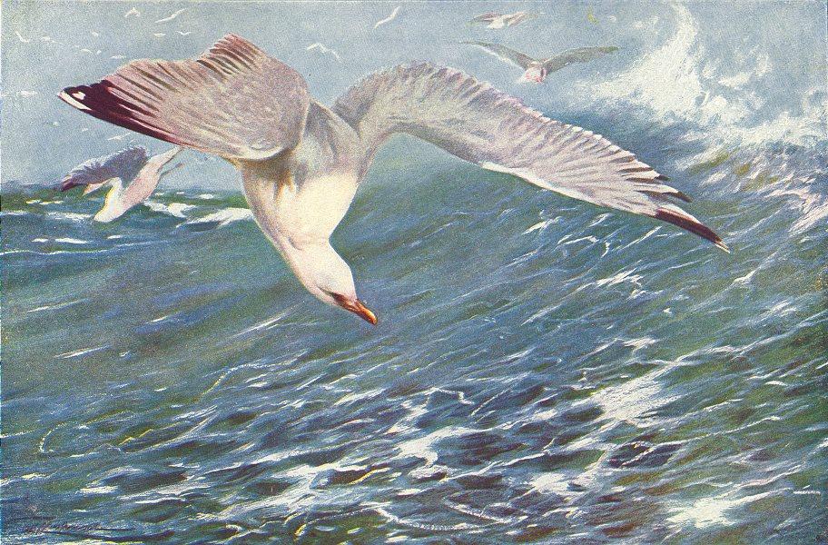 Associate Product BIRDS. Herring Gull(Larus Argentatus) 1907 old antique vintage print picture