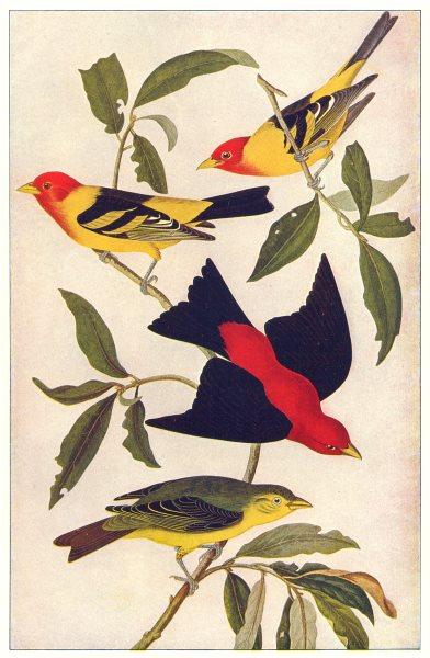 Associate Product AMERICAN SCARLET TANAGER. (Pyranga rubra)female; immature males 1907 old print