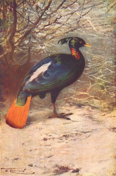 Associate Product BIRDS. Impeyan pheasant(Lophophorus impeyanus) 1907 old antique print picture