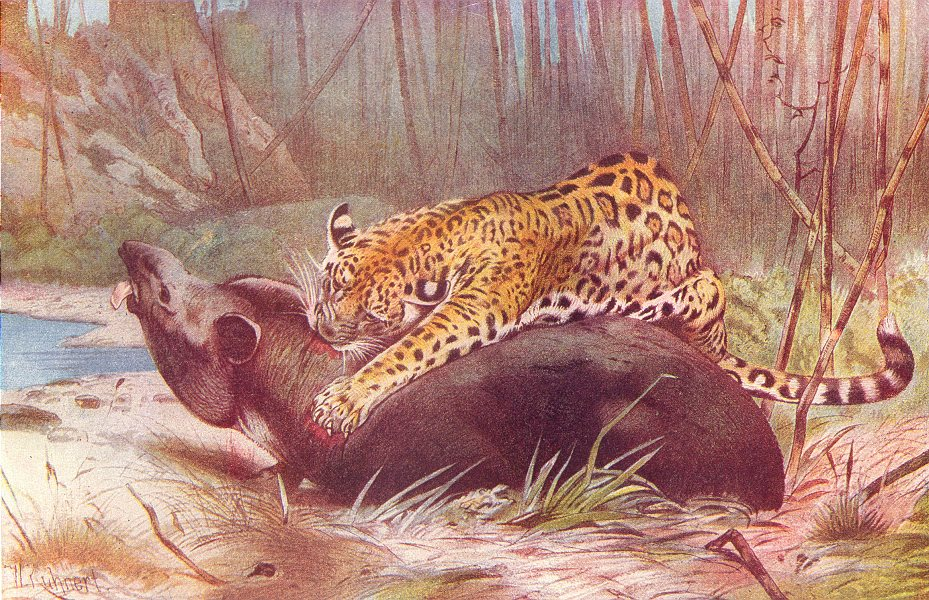 Associate Product CATS. South American Jaguar and Tapir 1907 old antique vintage print picture