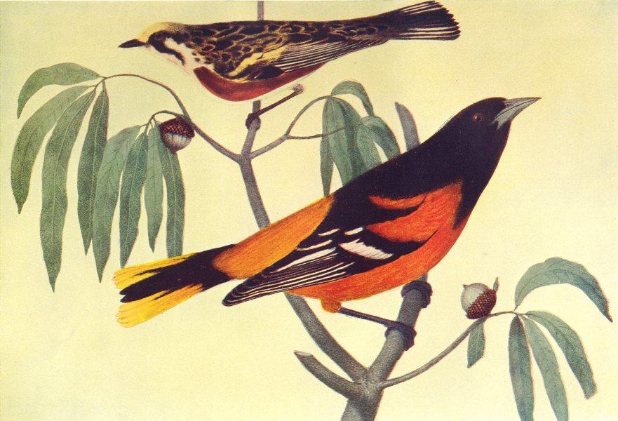 MARYLAND. Chestnut-sided Warbler(above)Baltimore oriole(below) 1907 old print
