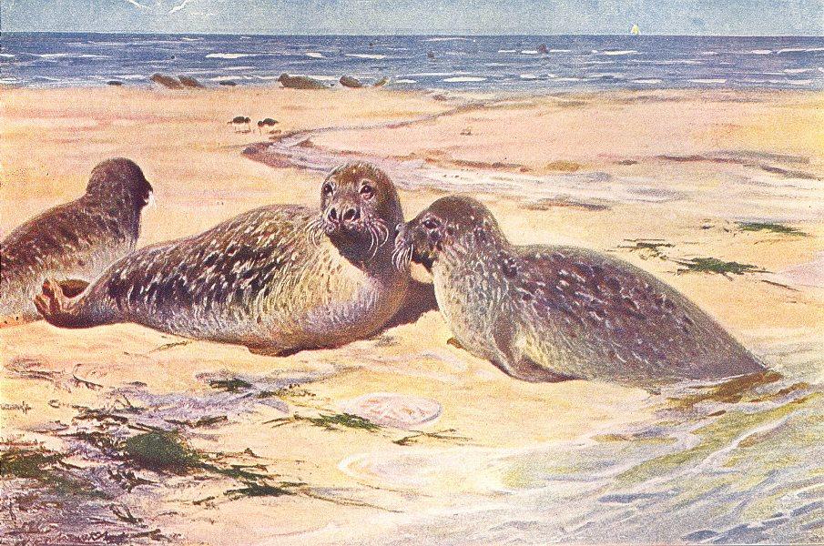 Associate Product ANIMALS. Common harbor harbour seal(Phoca Vitulina) 1907 old antique print
