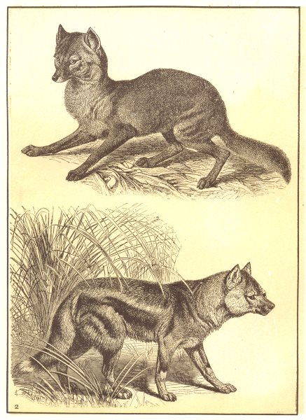 JACKALS. Jackals; 1 Common Jackal; 2 Side-striped jackal 1907 old print