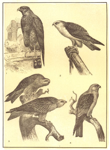 BIRDS. Kites; 1 Black-winged Kite; 2 Egyptian; 3 & common; 4 Mississippi 1907