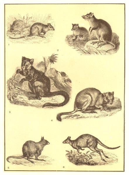 Associate Product KANGAROOS. Tree, Rat, Rock; Hypsiprymnodon; Hare, Pademelon Wallaby 1907 print