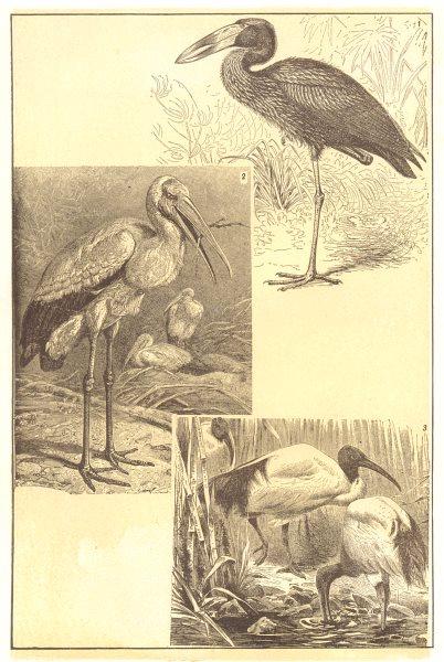 Associate Product BIRDS. Ibis Family Representative Ibises; Open-bill; Wood; Sacred 1907 print