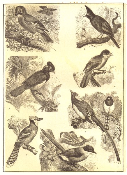 Associate Product JAY. European; Mexican Long-crested; Canada; Blue-capped; American Bluejay 1907