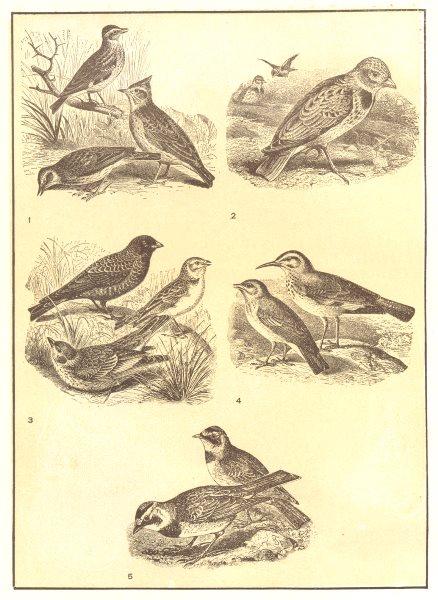 Associate Product LARKS. Wood, Sky, Crested Lark, Desert, Horned; Alanda calandra 1907 old print