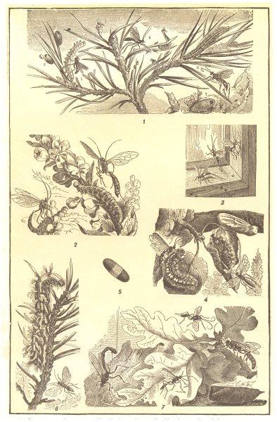 Associate Product CATERPILLARS. Pine-tree moth cocoon Ichneumon-fly larva syrphus- willow-  1907