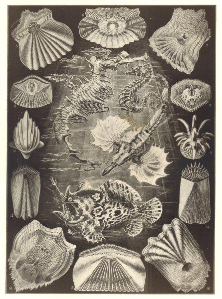 Associate Product TELEOST FISH. Gurnard Seahorse Seaweed Tentacle sea bream perch snipefish 1907