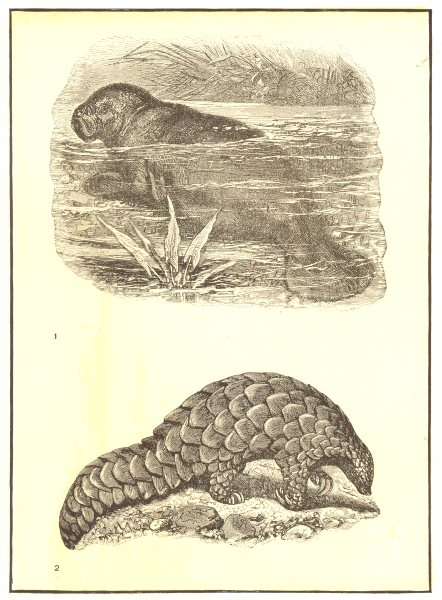 Associate Product MAMMALS. 1. West Indian Manatee; 2. Short-tailed Indian Manis 1907 old print