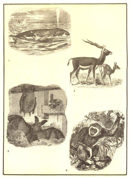 Associate Product MAMMAL. Whale-aquatic; Antelope-terrestrial; Bat-aerial; Ape-arboreal 1907