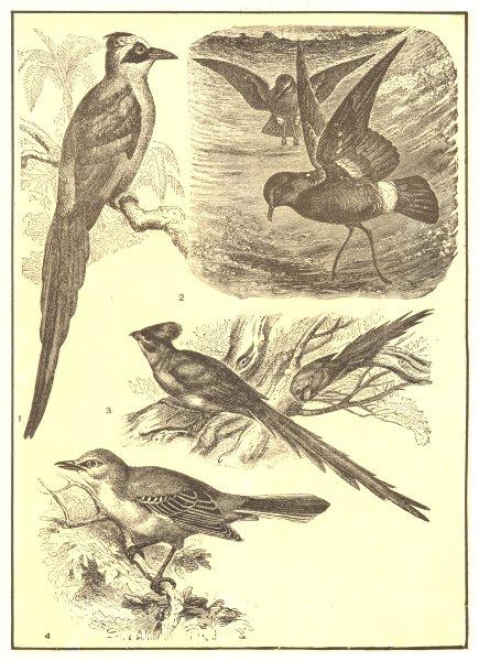 Associate Product BIRDS. Motmot Mother Carey's Chicken Mouse-bird American Mockingbird 1907