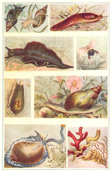 Associate Product MOLLUSCA. Pond snail Slug Green Sea Pteropod Cone-shell Achatina Tun-Worm 1907