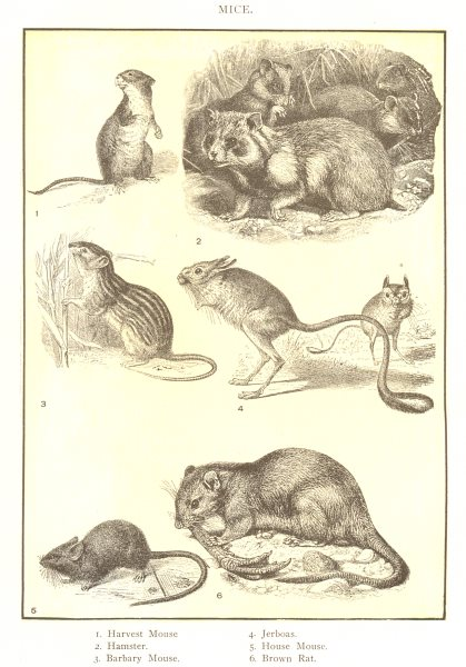 Associate Product RODENTS. Mice; Harvest mouse; Hamster; Barbary; Jerboas; House; Brown rat 1907