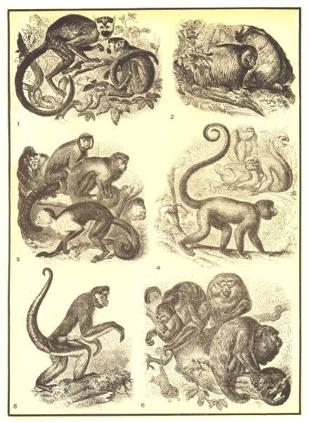 Associate Product PRIMATES. Titi Death head monkey Uakari Capuchin Barrigudo Spider Couxios 1907
