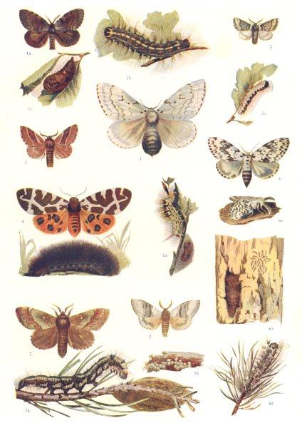 Associate Product MOTHS. Gypsy, Tiger, Psilura, Lackey, Tussock, Pine; caterpillar; Pupa 1907