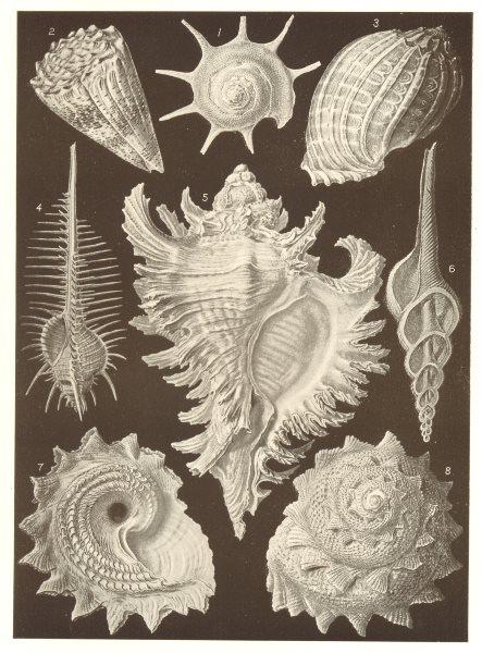 Associate Product MUREX. Calcar Conus Harpa ventricosa tenuispinus inflatus Fusus longicauda 1907