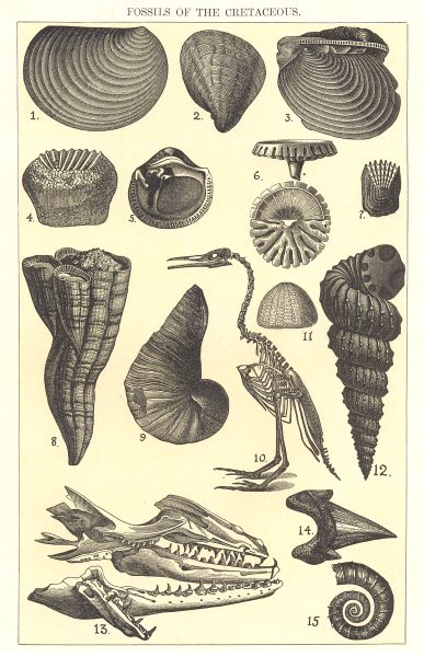 Associate Product CRETACEOUS FOSSIL.Inoceramus concentricus Exogyra columba Cripsi Ptychodus 1907