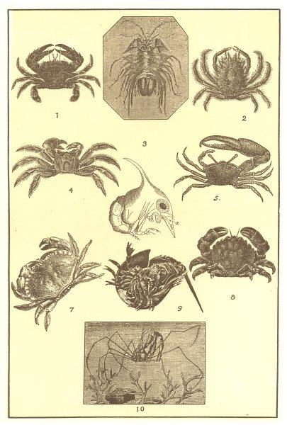 Associate Product CRABS. Bow Thornback Sand Horseman Fiddler Edible Sponge Horseshoe Spider 1907
