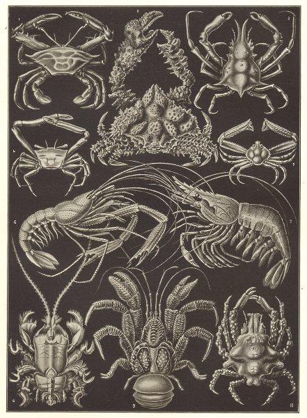 Associate Product DECAPODS. Edible sping Med Atlantic porcelain coconut purple crab; shrimp 1907