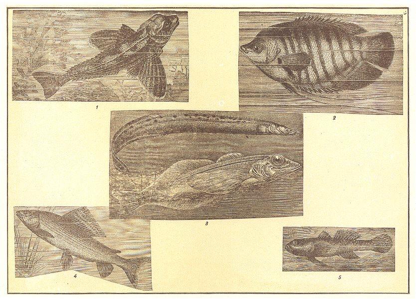 Associate Product FISH. Gurnard Gourami Spring Eel Golomynka Oilfish Baikal Grayling Goby 1907