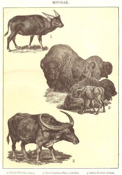 Associate Product OXEN. Bovidae Celebes Ox Anoa N American Bison Buffalo Indian domestic 1907
