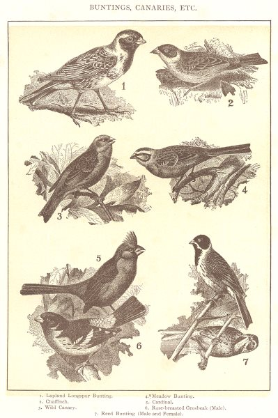 Associate Product BUNTING CANARY. Lapland longspur Chaffinch Meadow Rose-breasted Grosbeak  1907
