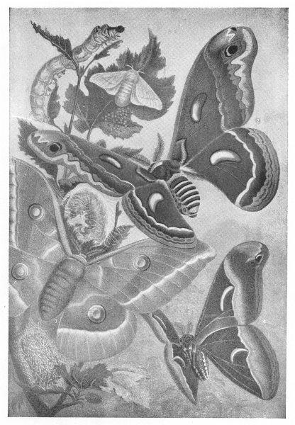Associate Product LEPIDOPTERA. Mulberry Silkworm, Caterpillar; Silk Moth; Chinese; Ailanthus 1907