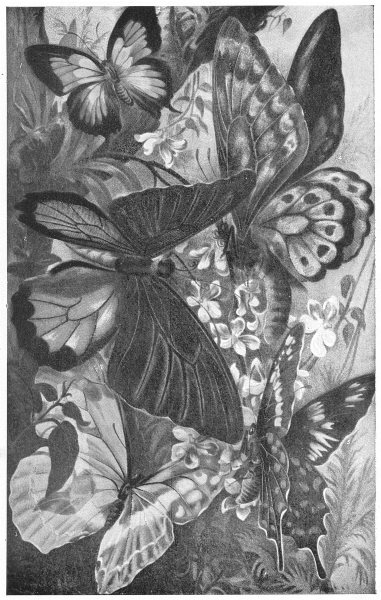 Associate Product BUTTERFLIES. Amblypodia amantes Ornithophera pompeus Morpho Cypris priamus 1907