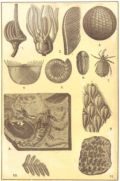 Associate Product CARBONIFEROUS FOSSILS. Actinocrinus; Platycrinus; Plaeechinus; Chonetes 1907