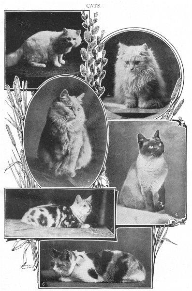 CATS. White cream silver Persian; Light; Thai; Short hair tortoise shell 1907