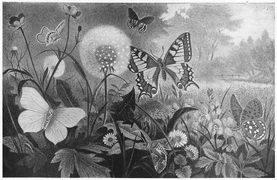 Associate Product LEPIDOPTERA. Brimstone butterfly; Swallow-tail; fritillary; Gamma Moth;  1907