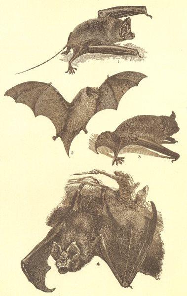 Associate Product BATS. Flap-nose Bat; Pigmy; Water; Horse-shoe 1907 old antique print picture