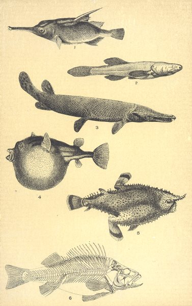 Associate Product FISH. Bellows; Cave; Bill; Balloon; Bat; Bass(Perca Fluviatilis) 1907 print