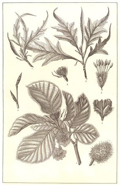 Associate Product TREES. Beech. Branch; flower; Fruit & case; Twig; varieties 1907 old print