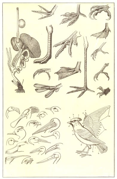 Associate Product PARTS OF A BIRD. Digestive organs; feet; head & bill; Feathers;  1907 print