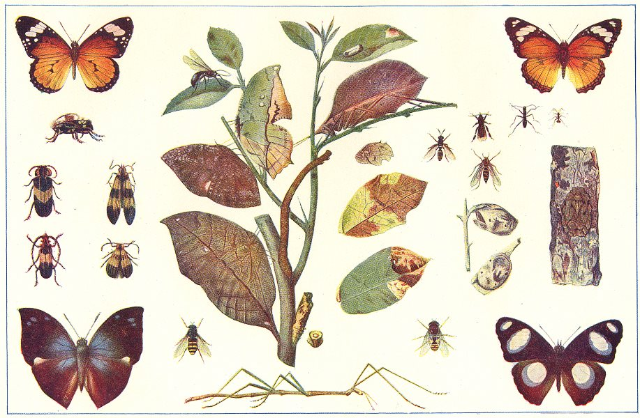 Associate Product INSECTS. Protective mimicry among insects 1907 old antique print picture