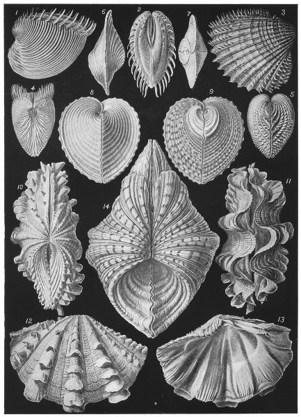 Associate Product BIVALVE MOLLUSCA. Cytheria dione; Cardium aculeatum; Hemicardium cardissa 1907
