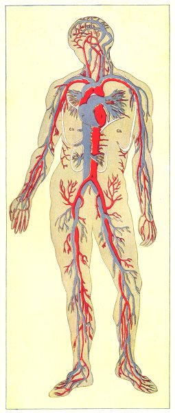 Associate Product BIOLOGY. Blood-general blood vessels; Arteries are in red; veins blue 1907